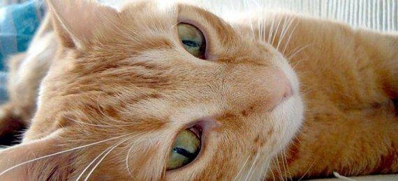 ¿Ya vacunaste a tu gato contra la leucemia?