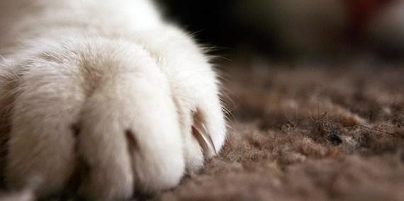 ¿Por qué los gatos necesitan las uñas?