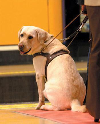 Qué hacer cuando se encuentren con un perro Guía de personas ciegas