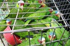 Ayuda denunciando la venta ilegal de pericos silvestres