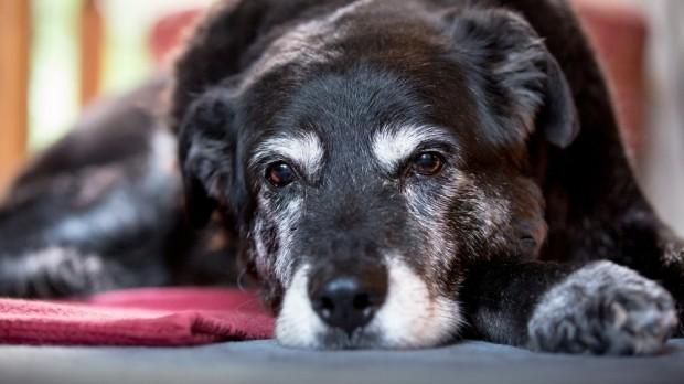 Envejecimiento cerebral de los perros o Alzheimer canino