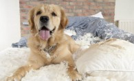 Perros que destruyen cuando se quedan solos
