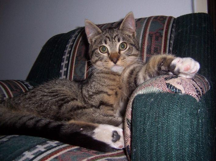 Si estás considerando desunglar a tu gato…