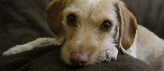 Adaptación de un perro ( rescatado o adoptado) a tu hogar