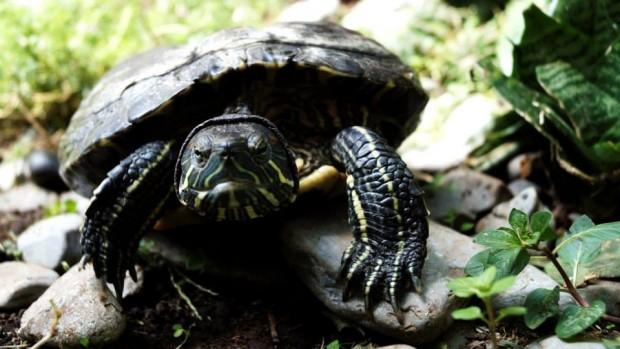 Todo lo que necesitas saber para tener una tortuga acuática