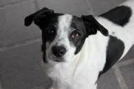 ¿Qué es un perro criollo o mestizo?