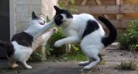 ¿Por qué los gatos se pelean en la calle?