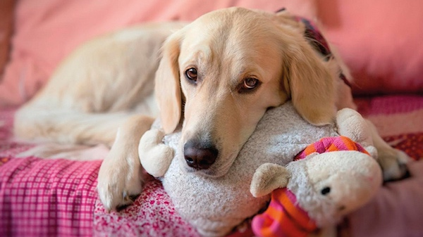 Falsa preñez (embarazos psicológicos) en perras y gatas