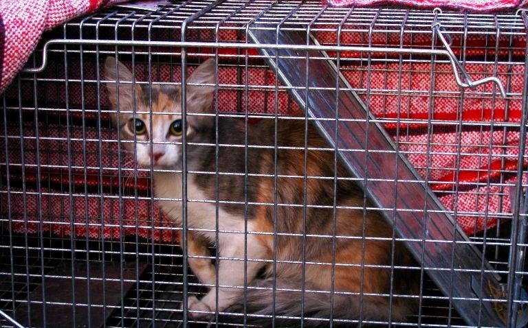 Un gato adentro de una trampa estará asustado y puede ser peligroso si lo tocas. Toma siempre medidas de protección.