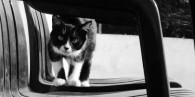 ¿Esterilizar a una gata gestante?